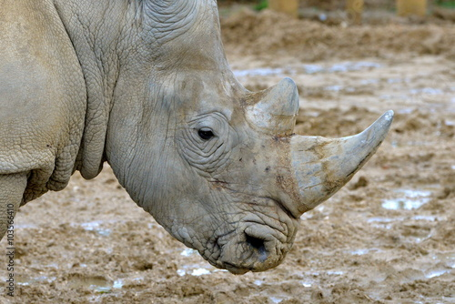Spoed Foto op Canvas Neushoorn Corne de rhinocéros