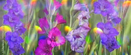 Fotografía gladiolus in garden close up