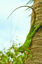 Green Iaguana