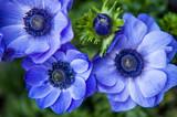 Blue Anemones close up