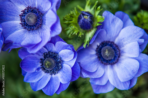 Blue Anemones close up Poster Mural XXL