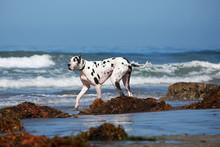 Great Dane Walking On Beach