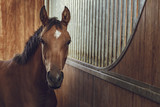Fototapeta Horses - Front view portrait of an attentive curious chestnut young stallion in a stable.