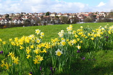 Daffodil Field In High Barnet, London