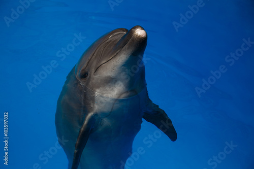 Fototapety, obrazy: Smiling dolphin. dolphins swim in the pool