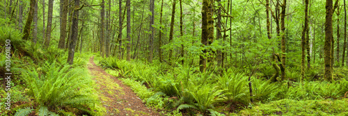 Wall Murals Forest Path through lush rainforest, Columbia River Gorge, Oregon, USA