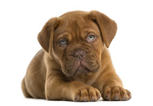 Dogue De Bordeaux Puppy Lying In Front Of A White Background