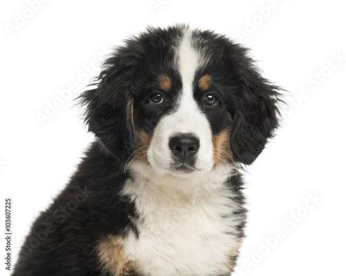 Poster de jardin Vache Close-up of a Bernese Mountain Dog puppy