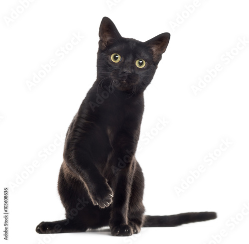 Fotografia Black cat kitten with a paw up, isolated on white