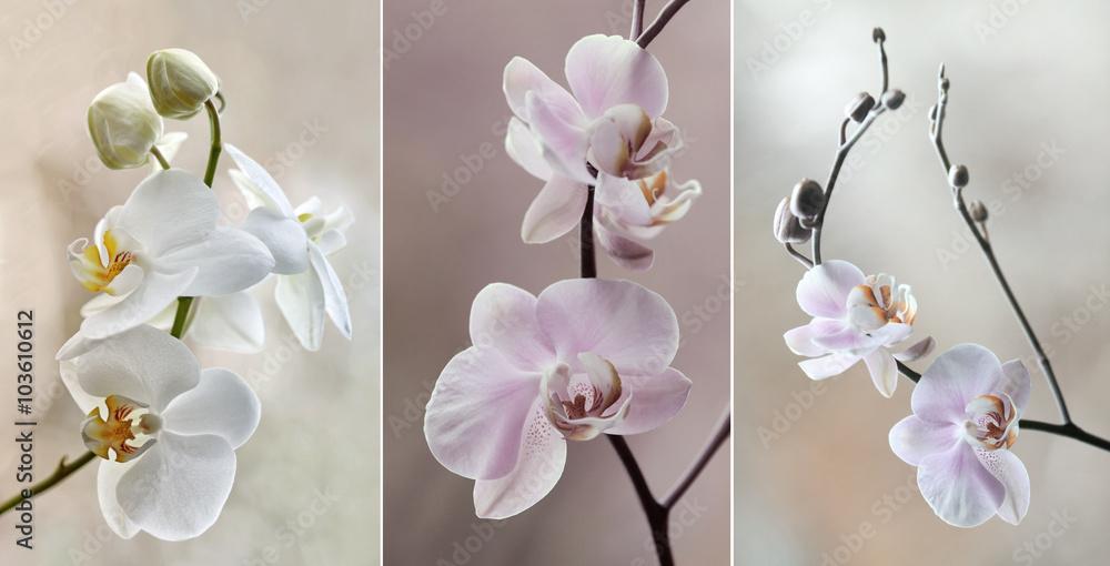 Fototapety, obrazy: Orchidea ( storczyki) - pastelowe