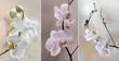 Orchidea ( storczyki) - pastelowe