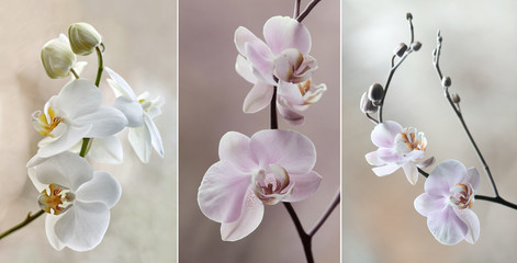 Obraz na SzkleOrchidea ( storczyki) - pastelowe