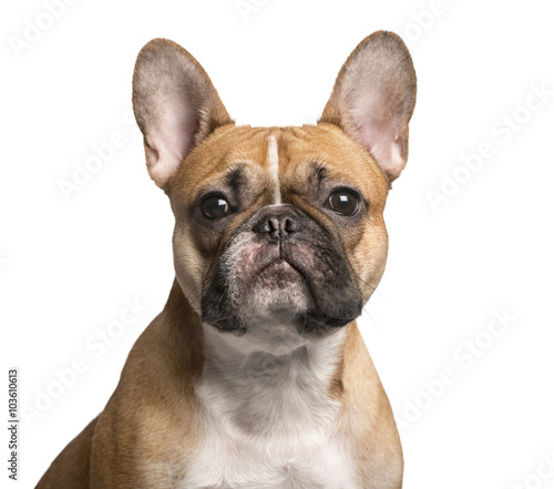 Poster Bouledogue français French Bulldog looking at the camera, isolated on white