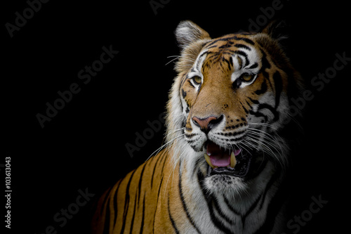 Fotomurales - close up face tiger isolated on black background