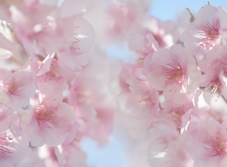 日本の桜の花 クローズアップ