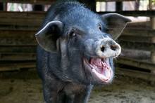 Black Pig Opened Mouth Yawn In Sty