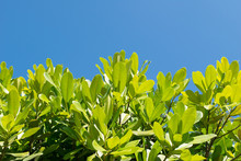 Top Green Leaf On Tree And Blue Sky