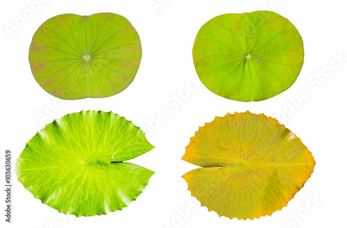 Papiers peints Nénuphars water lily green leaf