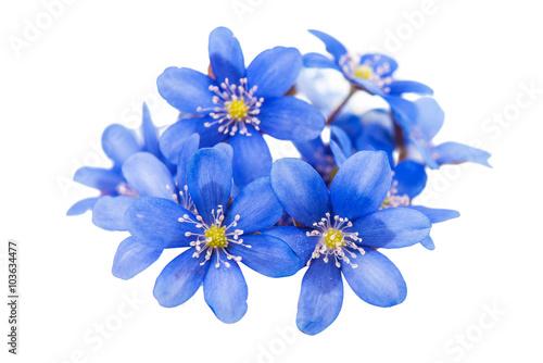 spring blue flower isolated Fototapeta