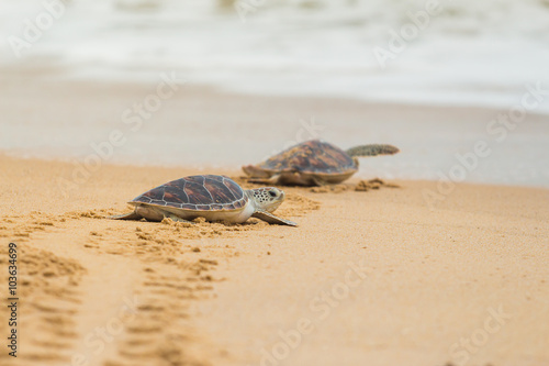 Photo sur Toile Tortue Hawksbill sea turtle on the beach, Thailand.