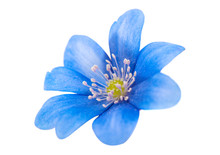 Spring Blue Flower Isolated