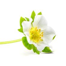 Fresh Strawberry Flower On White