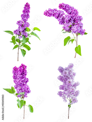 Fotobehang Lilac Lilac flowers isolated