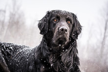 A Snow-covered Black Newfoundl...
