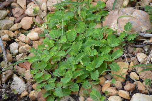Spurge weeds in a rock garden flower bed Canvas-taulu