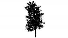 Sourwood Sorrel Tree In Spring Silhouette Animated Tree Is Swaying At The Wind Branches Are Staggering Leaves Are Fluttering Thin Tree Oxydendrum Arboreum