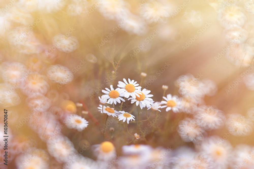 Fototapeta Beautiful daisy flower in meadow - wild chamomile