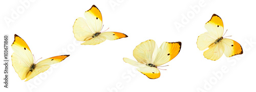 La pose en embrasure Papillon Yellow Butterflies (Anteos Menippe).