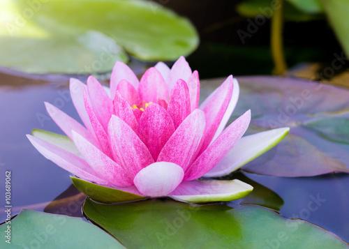 Poster de jardin Nénuphars blossom water lily flower