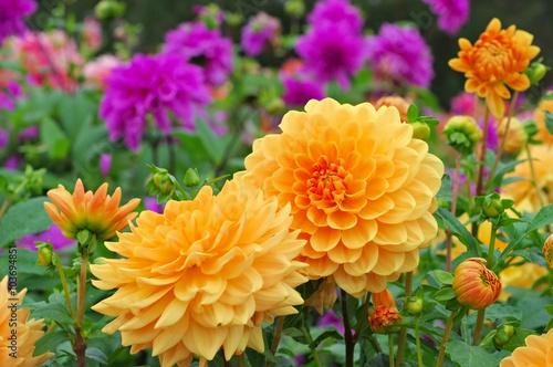 Poster de jardin Dahlia Dahlie Orange Garden - Dahlia is called Orange Garden