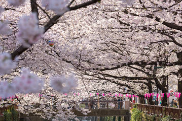 Fototapeta Tokio TOKYO, JAPAN - March 30 : Tourist unidentified taking picture with Cherry blossom flower taken March 30, 2015 in Naga Meguro area, Tokyo. This area is popular sakura spot in Tokyo with beautiful canal