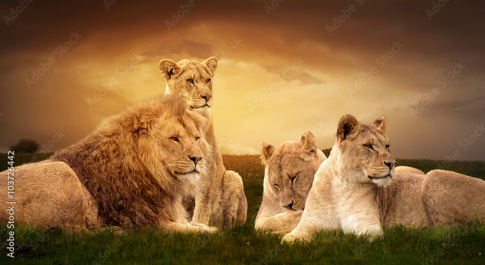 Fototapeta African lions resting in the green grass.
