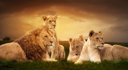 Fototapeta na wymiar African lions resting in the green grass.