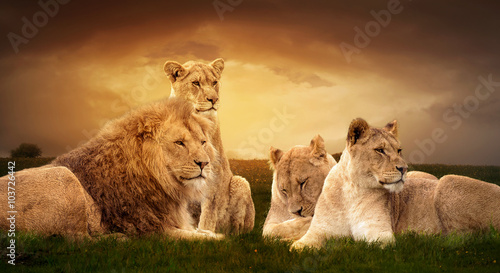 African lions resting in the green grass. Wallpaper Mural