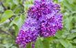 Blossoming Syringa vulgaris in Minsk a botanical garden, Belarus
