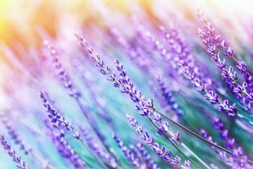 Fototapeta Optyczne powiększenie Lavender flower background