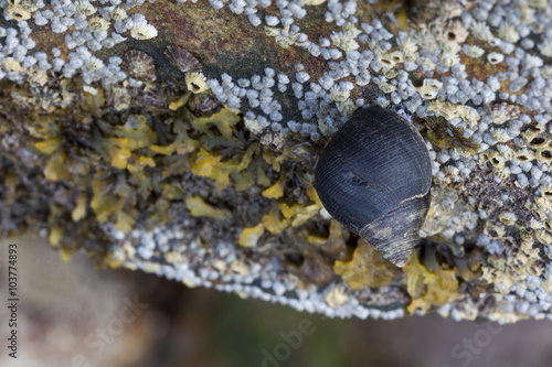 Common Periwinkle (Littorina littorea)