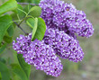 blooming lilac in the botanical garden