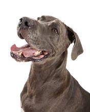 Happy Great Dane Dog Closeup