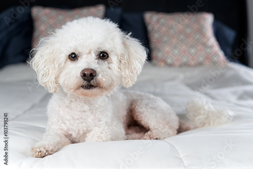 Fényképezés  White Bichon Frise on a bed with white comfortor