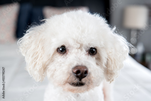 Fotografia, Obraz White Bichon Frise on a bed with white comfortor