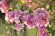 Garlic vine violet flower