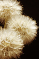 Panel Szklany Dmuchawce Dandelions close-up on dark