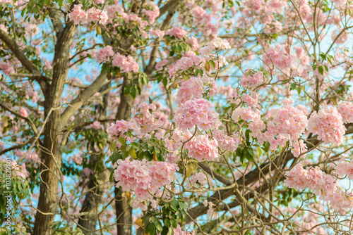 Foto op Plexiglas Magnolia Tabebuia rosea is a Pink Flower neotropical tree