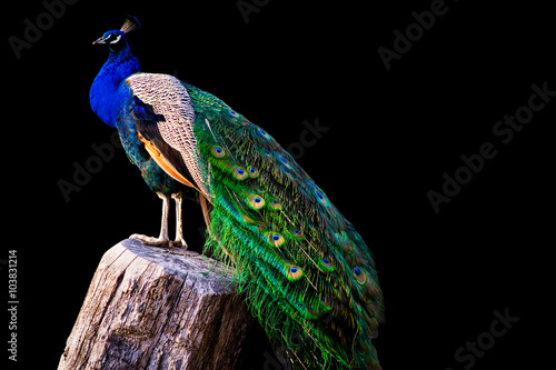 peacock on black background