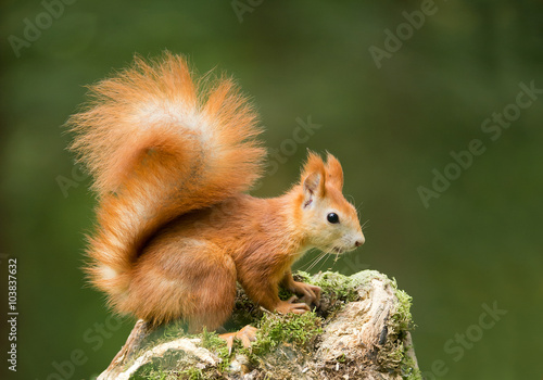 Tuinposter Eekhoorn European red squirrel on the mossy stump, clean green background, Czech republic, Europe